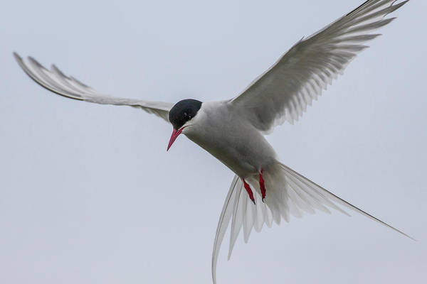 Tern Wall Art - Photograph - Iceland, Reykjavik by Jaynes Gallery