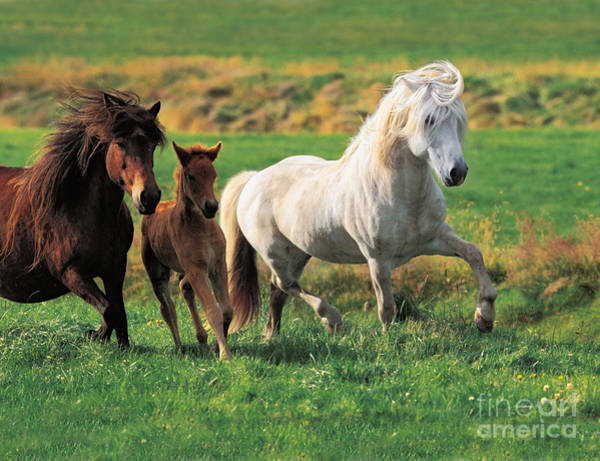 Mare And Foal Photograph - Icelandic Horses by Gabriele Boiselle