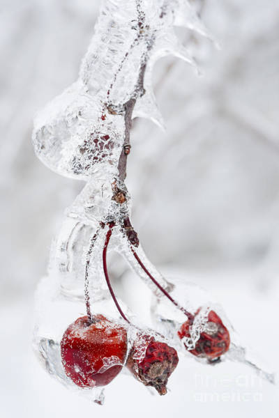 Photograph - Icy Branch With Crab Apples by Elena Elisseeva