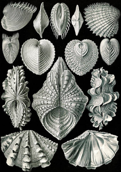 Wall Art - Drawing - Illustration Showing A Variety Of Mollusks by Artokoloro