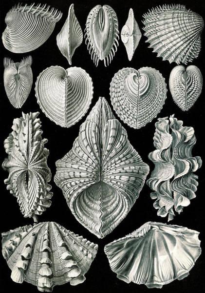 Wall Art - Drawing - Illustration Showing A Variety Of Mollusks by Artokoloro