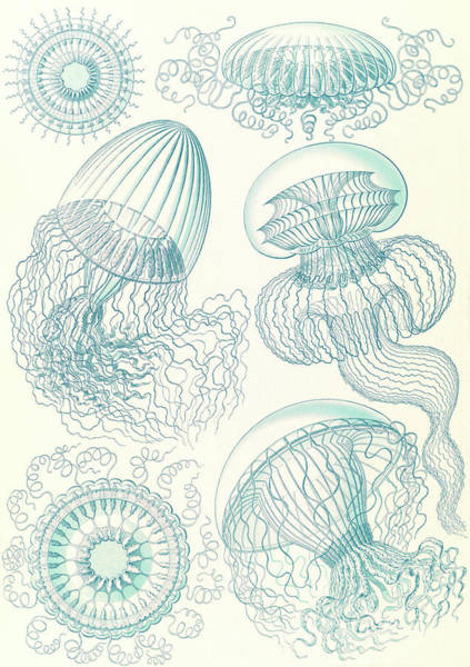 Wall Art - Drawing - Illustration Shows Jellyfishes. Leptomedusae by Artokoloro