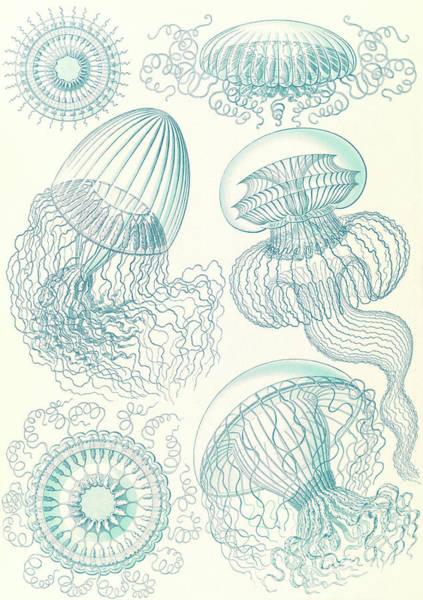 Wall Art - Drawing - Illustration Shows Jellyfishes. Leptomedusae by Artokoloro