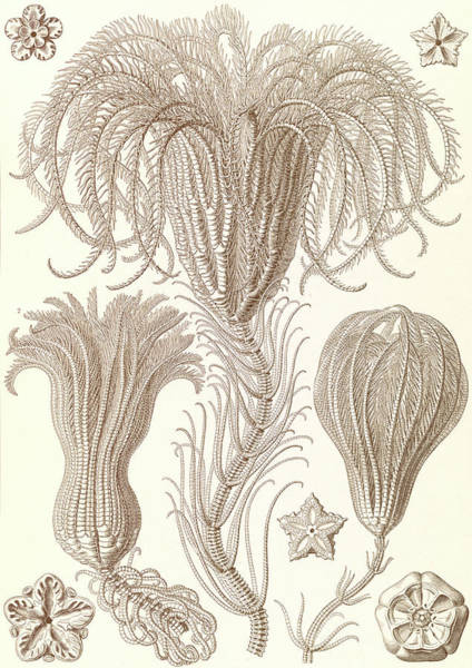 Wall Art - Drawing - Illustration Shows Marine Animals. Crinoidea by Artokoloro
