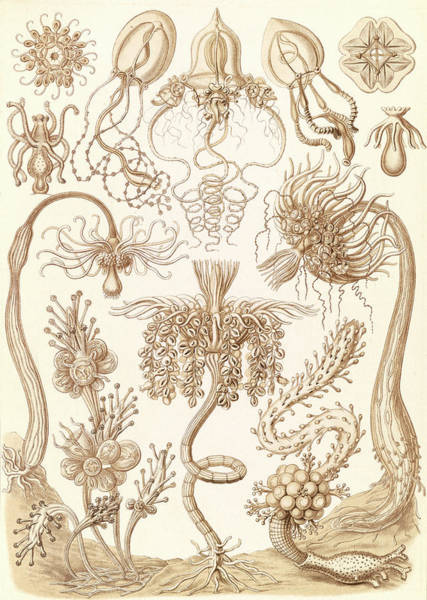 Wall Art - Drawing - Illustration Shows Marine Invertebrates. Tubulariae by Artokoloro