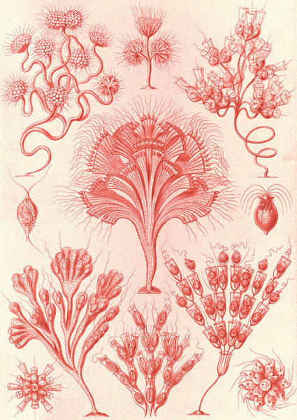 Wall Art - Drawing - Illustration Shows Microorganisms. Flagellata by Artokoloro