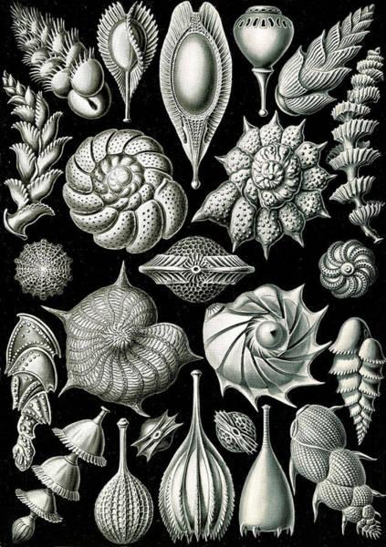 Wall Art - Drawing - Illustration Shows Microorganisms. Thalamophora by Artokoloro