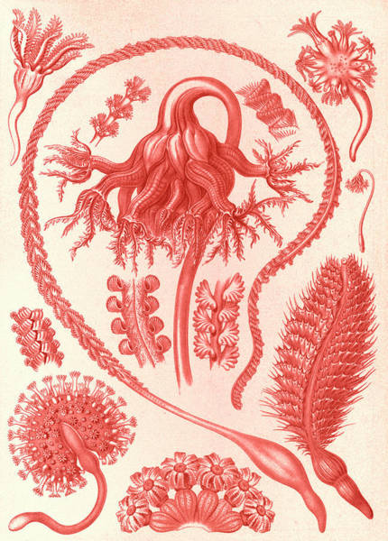 Wall Art - Drawing - Illustration Shows Sea Pens. Pennatulida by Artokoloro