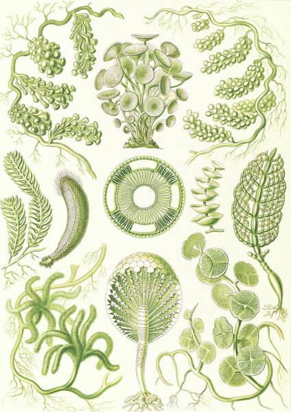 Wall Art - Drawing - Illustration Shows Seaweed. Siphoneae. - Riesen-algetten by Artokoloro