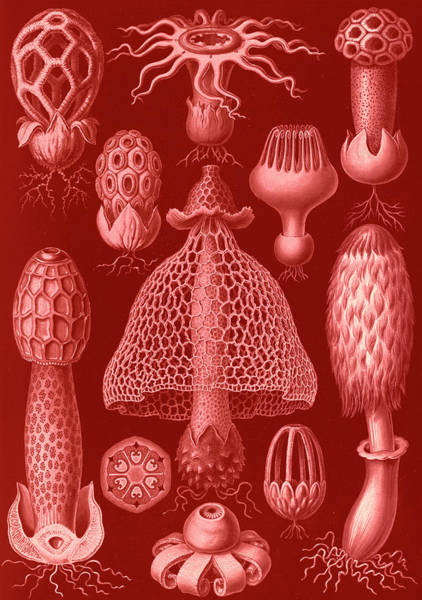 Wall Art - Drawing - Illustration Shows Stinkhorn Mushrooms. Basimycetes by Artokoloro