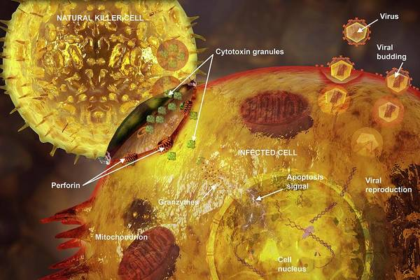 Immune Cell Wall Art - Photograph - Immune Synapse by Carol & Mike Werner