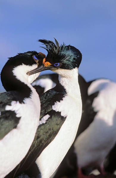 Courtship Photograph - Imperial Shag Or King Shag by Martin Zwick