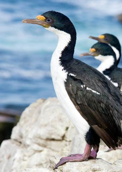 Cormorant Wall Art - Photograph - Imperial Shags by Steve Allen/science Photo Library