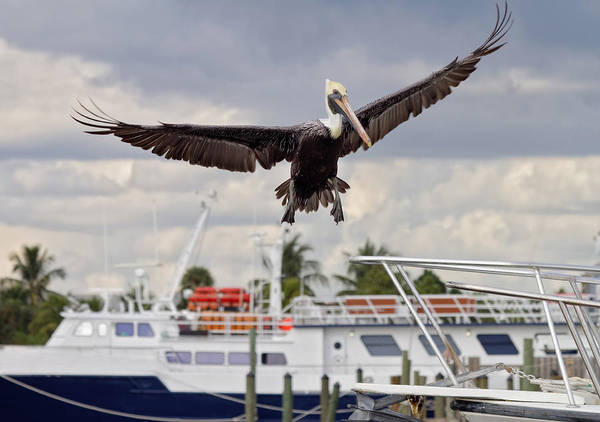 American White Pelican Wall Art - Photograph - In For A Landing by Kim Hojnacki