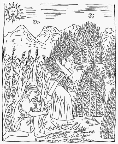 Indian Corn Drawing - Inca Harvesting, C1583 by Granger