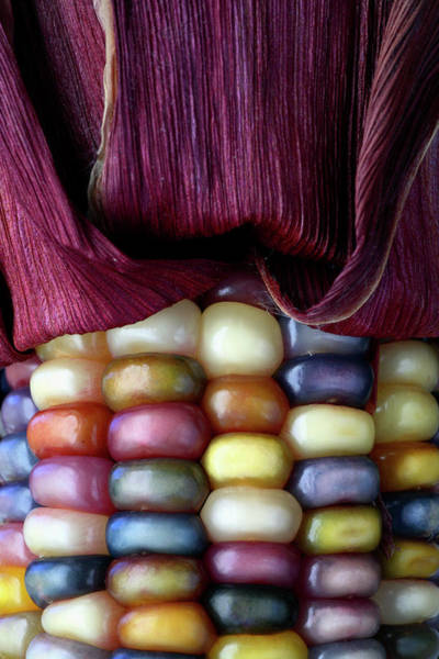 Wall Art - Photograph - Indian Corn by Michael Clutson/science Photo Library