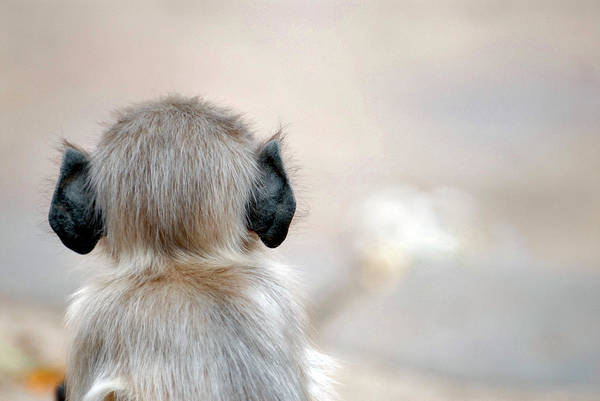 Old World Monkey Photograph - Infant Langur Monkey by Simon Fraser/science Photo Library