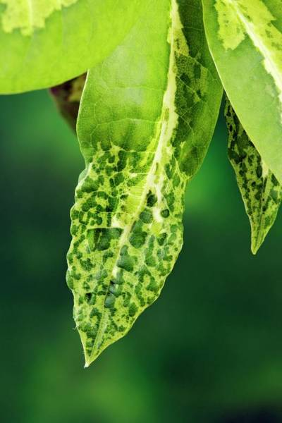 Wall Art - Photograph - Insect Damage On Leaf by Geoff Kidd/science Photo Library