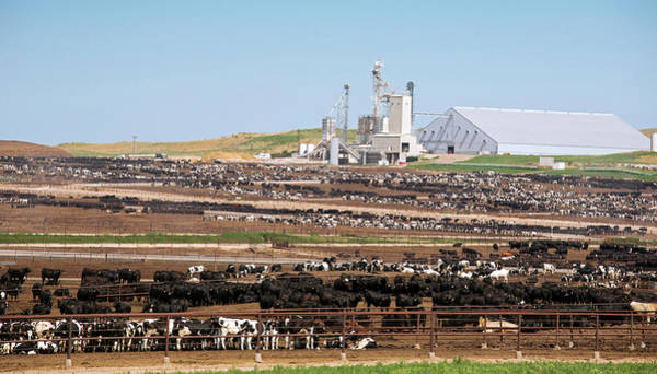 Feedlot Photograph - Intensive Cattle Farm by Jim West