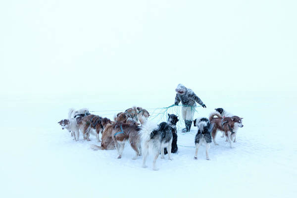 Canis Lupus Photograph - Inuit Hunter And Husky Dog Team by Louise Murray