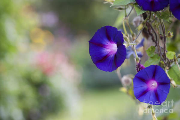 Morning Glory Photograph - Ipomoea Morning Glory Flowers by Tim Gainey