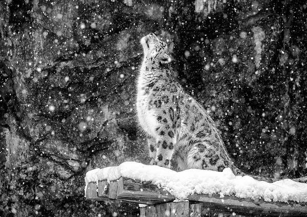 Feline Photograph - It's Snowing by David Williams