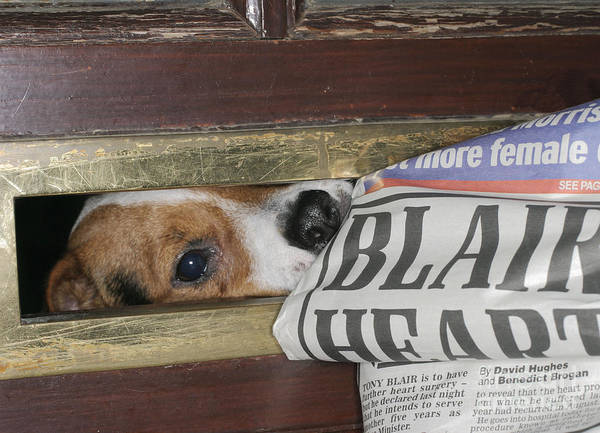 Naughty Dog Wall Art - Photograph - Jack Russell Terrier Gets Paper by Brian Bevan