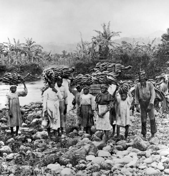 Photograph - Jamaica Bananas, C1900 by Granger