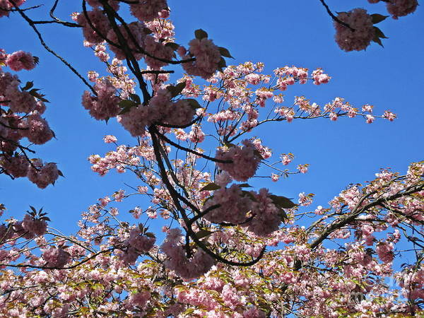 Photograph - Japanese Cherry Blossom by Chani Demuijlder