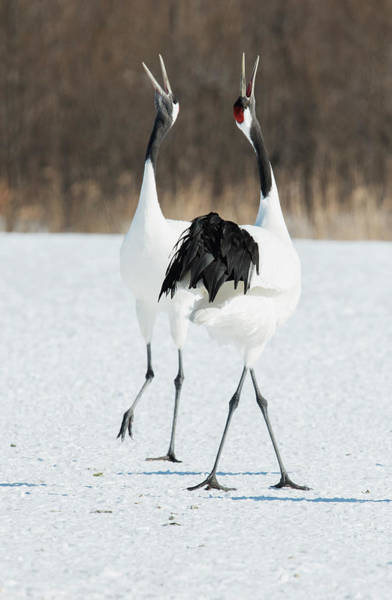 Courtship Display Photograph - Japanese Cranes Displaying by Dr P. Marazzi