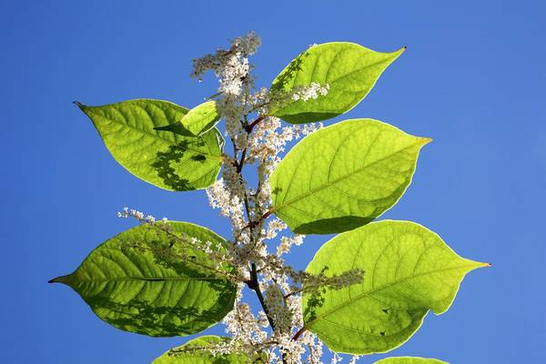 Japonica Photograph - Japanese Knotweed by Alex Hyde