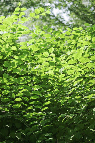 Introduced Species Photograph - Japanese Knotweed (fallopia Japonica) by Gustoimages/science Photo Library