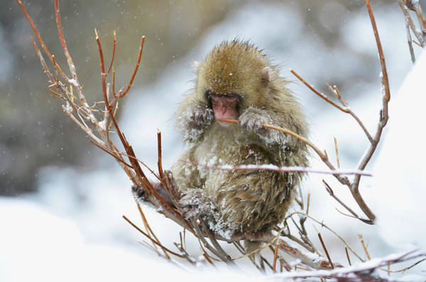 Adapted Photograph - Japanese Macaque by Dr P. Marazzi