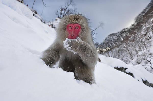 Snow Monkey Photograph - Japanese Macaque In Snow Jigokudani by Thomas Marent