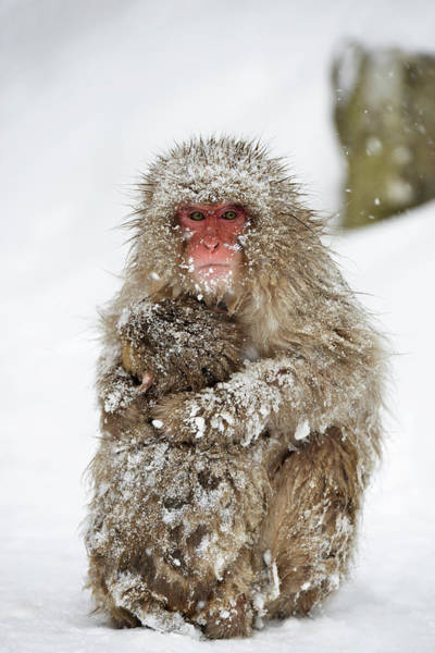 Adapted Photograph - Japanese Macaque With Young by Dr P. Marazzi