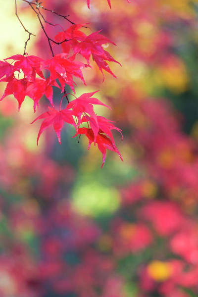 Change Photograph - Japanese Maple In Autumn Color by Peter Adams