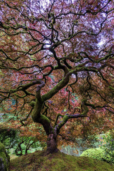 Portland Photograph - Japanese Maple Tree by Mike Centioli