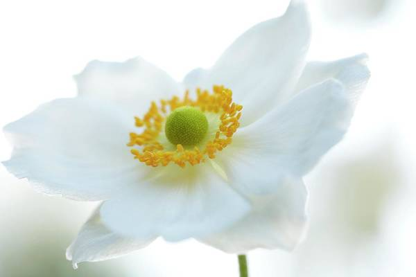 Wall Art - Photograph - Japanese Windflower (anemone Sp.) by Rachel Warne/science Photo Library