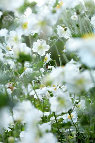 Wall Art - Photograph - Japanese Windflowers (anemone Sp.) by Rachel Warne/science Photo Library