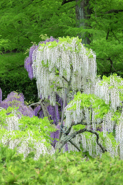 Wisteria Wall Art - Photograph - Japanese Wisteria, Longwood Gardens by Lisa S. Engelbrecht