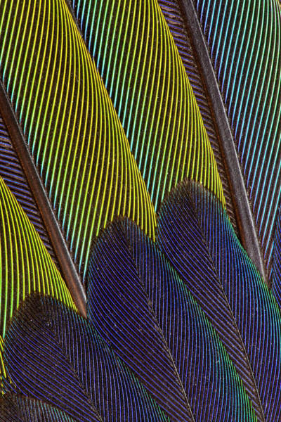 Wall Art - Photograph - Jenday Conure Wing Feather Detail by Darrell Gulin