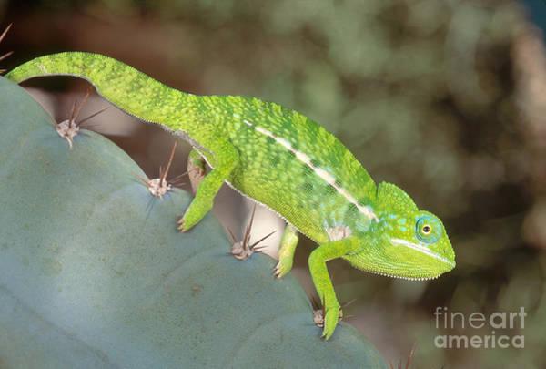 Photograph - Jewel Chameleon by Art Wolfe