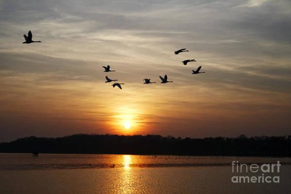 Wall Art - Photograph - Joe Fox Fine Art - Swans Flying Past Sun Setting Over Lough Neagh Northern Ireland by Joe Fox