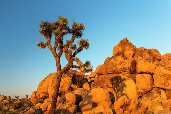 Adapted Photograph - Joshua Tree (yucca Brevifolia) by Michael Szoenyi