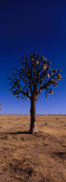 Yucca Brevifolia Photograph - Joshua Tree Yucca Brevifolia by Panoramic Images