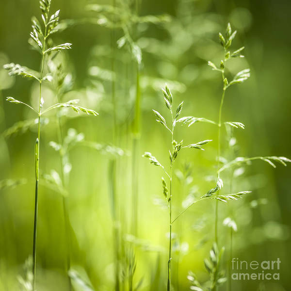 Flowering Plants Photograph - June Green Grass Flowering by Elena Elisseeva