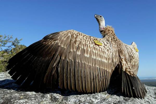Accipitridae Wall Art - Photograph - Juvenile Cape Vulture by Peter Chadwick/science Photo Library