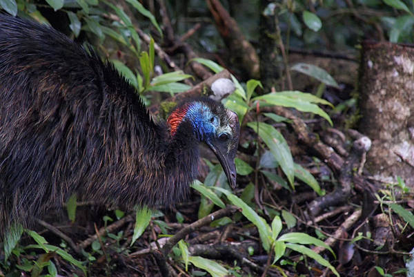 Queensland Digital Art - Juvenile Cassowary by Carol Ailles