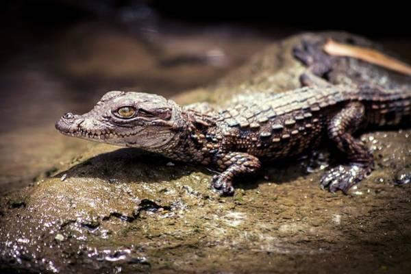 Wildlife Sanctuary Photograph - Juvenile Mugger Crocodile by Paul Williams