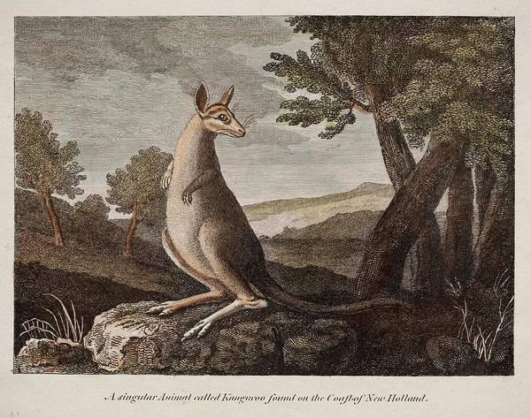 Australian Wildlife Wall Art - Photograph - Kangaroo by Paul D Stewart